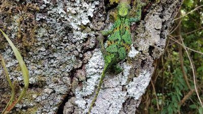 35 chameleon